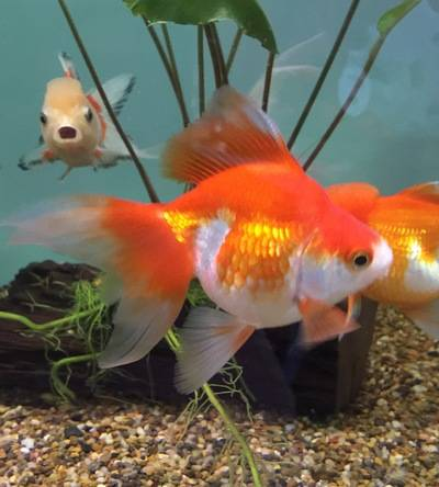 Exotic Chinese Goldfish