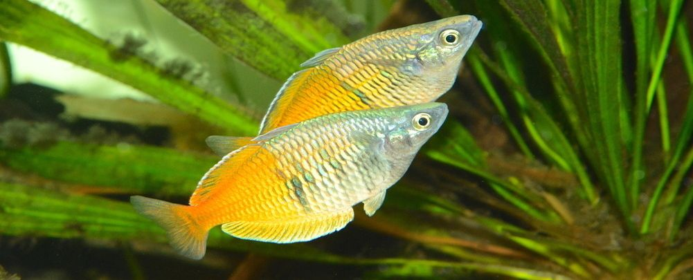 Australian Rainbow Fish